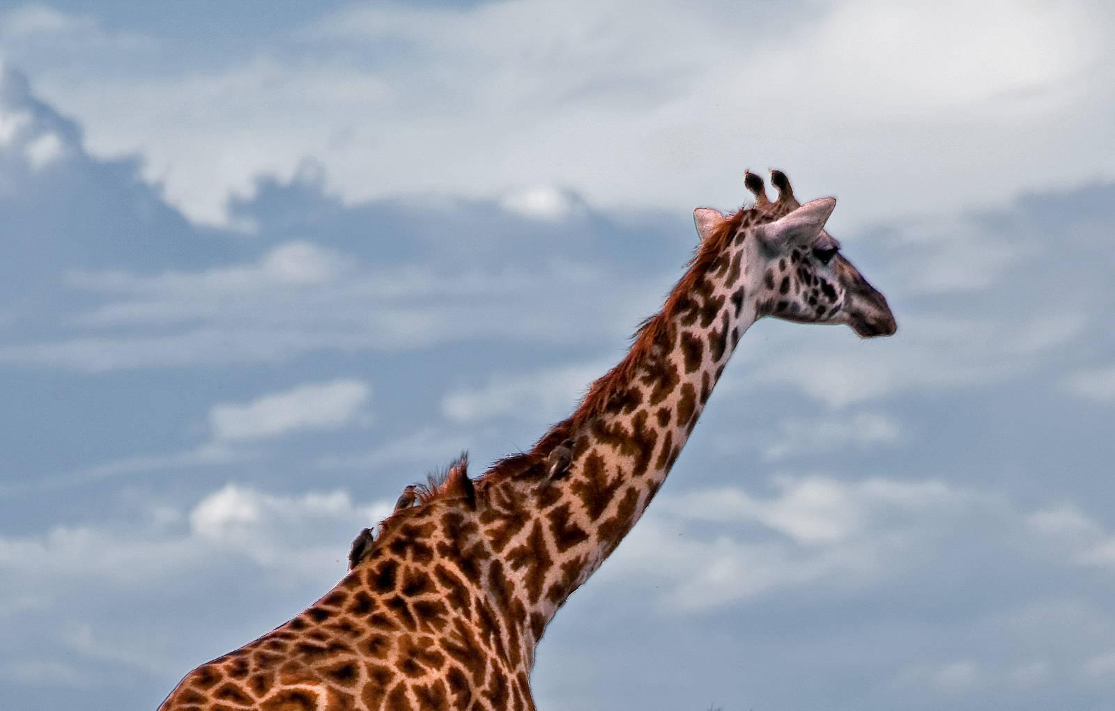 Masai giraffe with ox-peckers