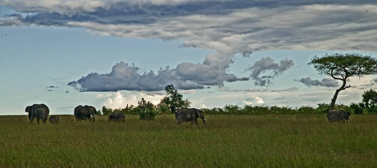 Elephants and acacia