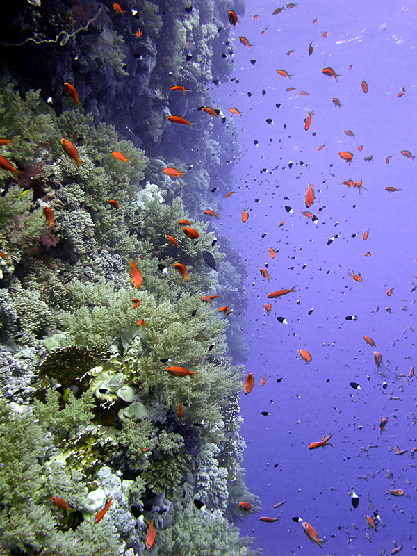 Anthias by Wall - Daedelus Reef 02