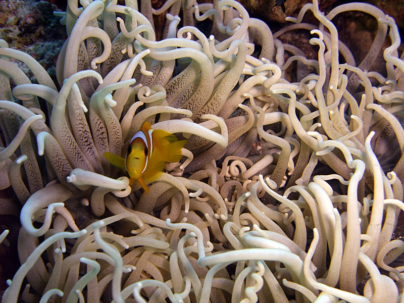Small Two-Banded Anemonefish in Corkscrew Anemone -Amphiprion Bicinctus Macrodactyla Doreensis