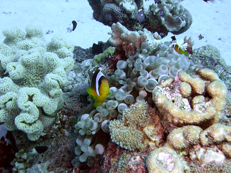 Two-Banded Anemonefish and Coral - Amphiprion Bicinctus