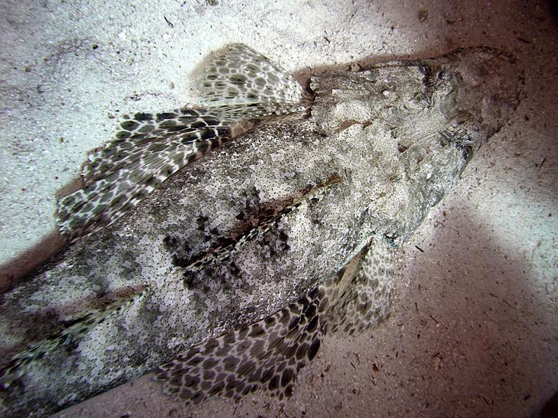 Crocodilefish on Sand - Papilloculiceps Longiceps 02