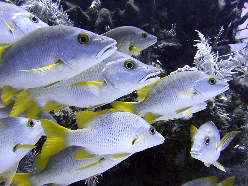 Schoolmaster Fish Up Close