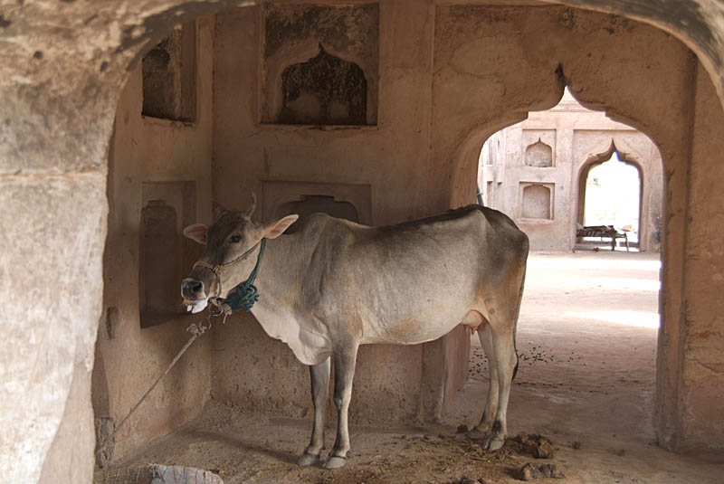Cow Tethered in Ruins