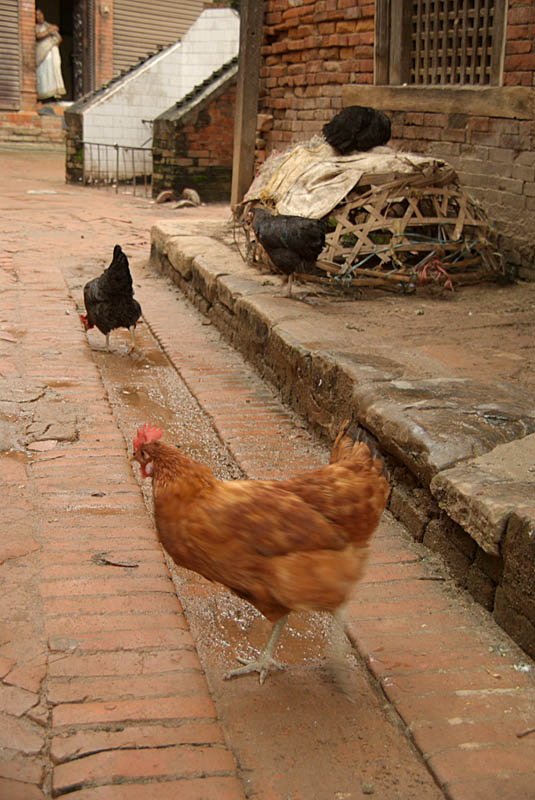 Chickens in a Lane Bhaktapur 02
