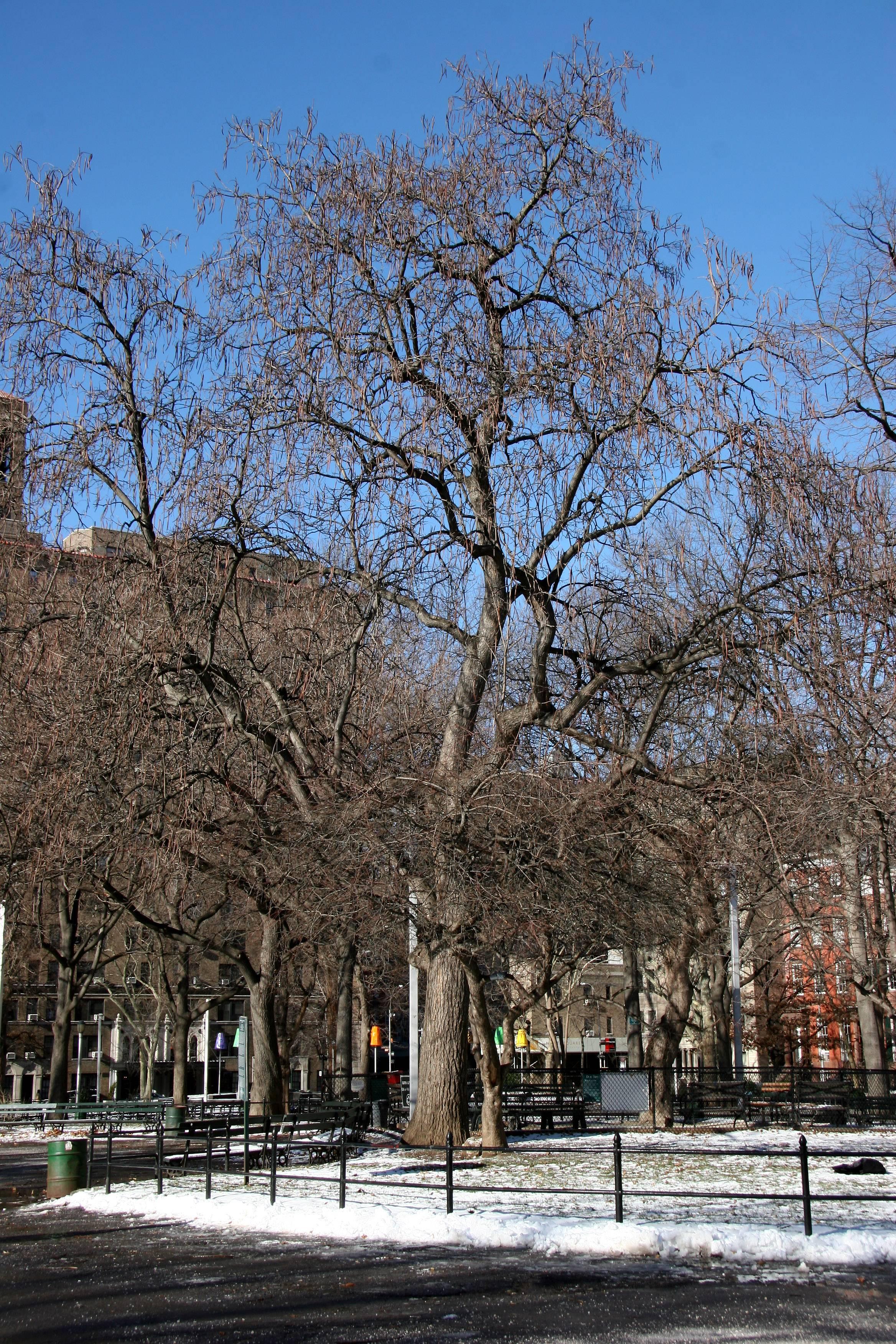Catalpa Tree - Northwest View of the Park
