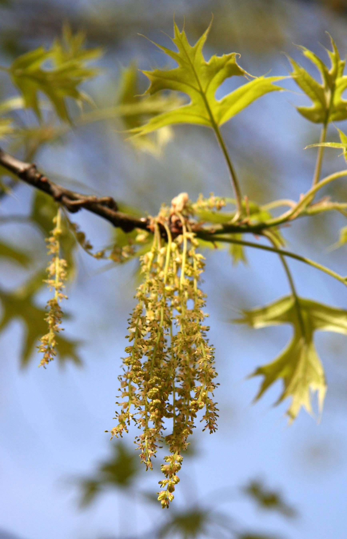 Oak Tree - New Foliage & Blossom