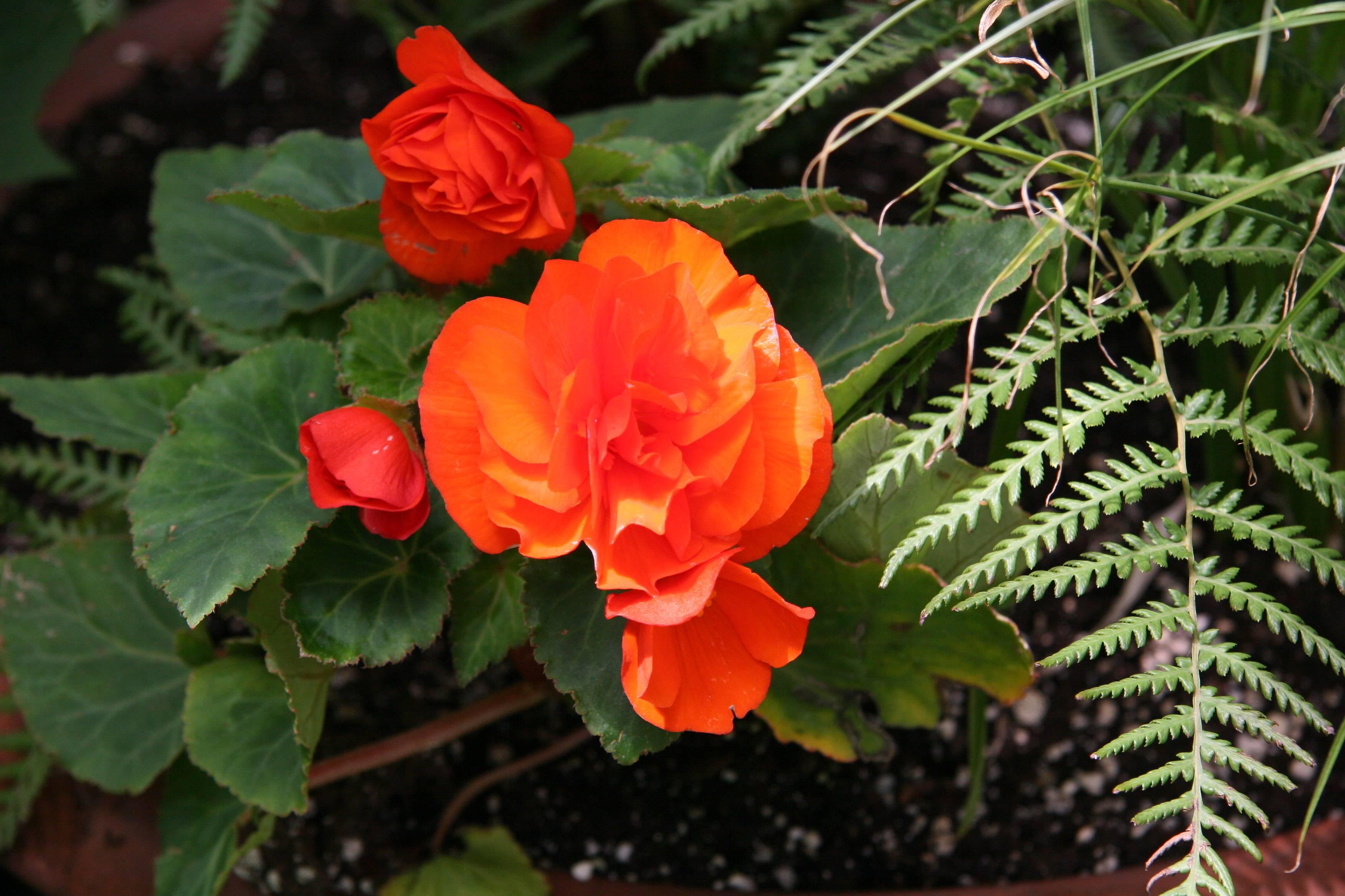 Orange Begonia & Fern