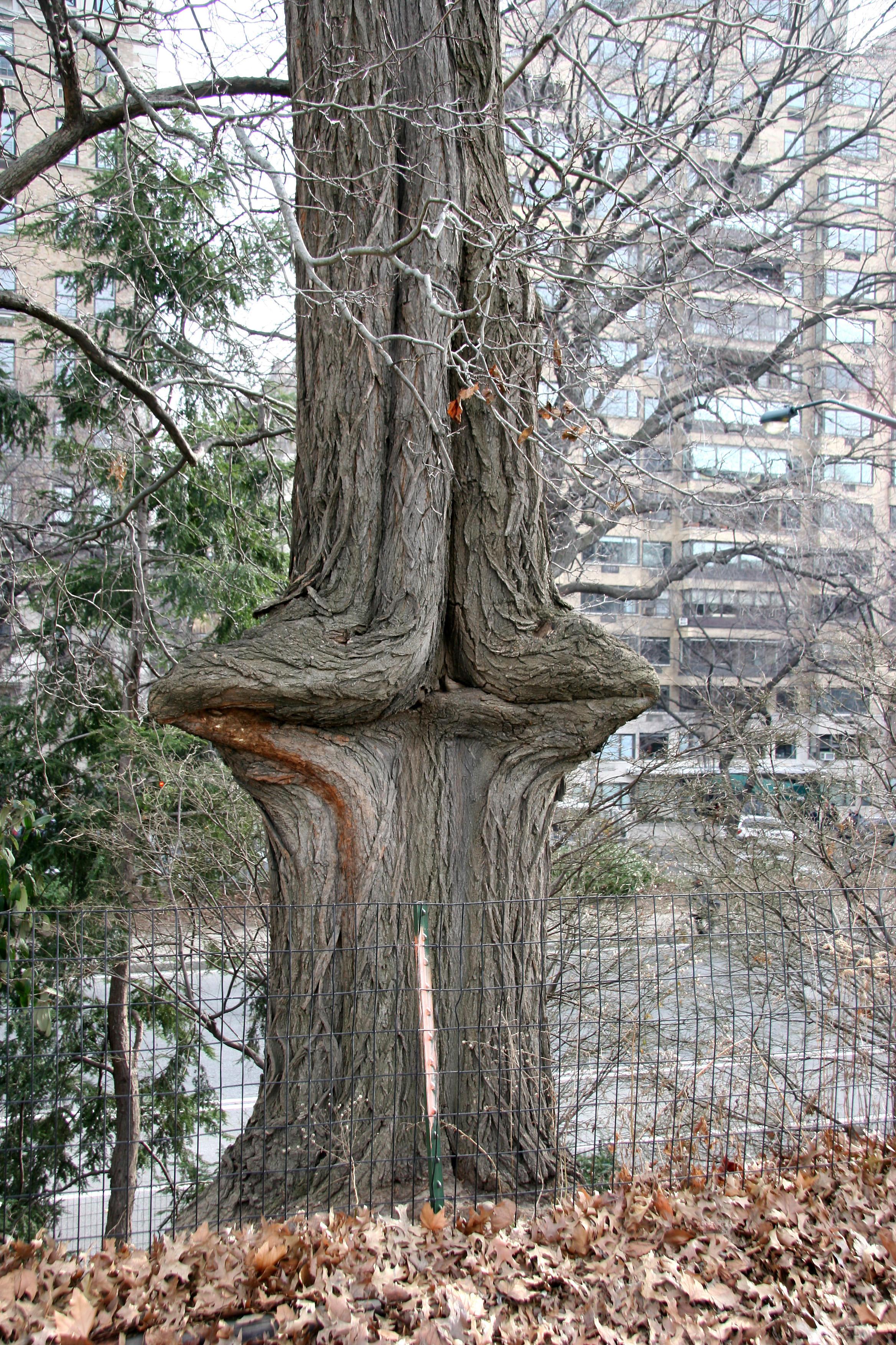 Unusual Red? Oak Tree Trunk by the Reservoir