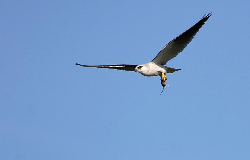 August 4. Black Shouldered Kite