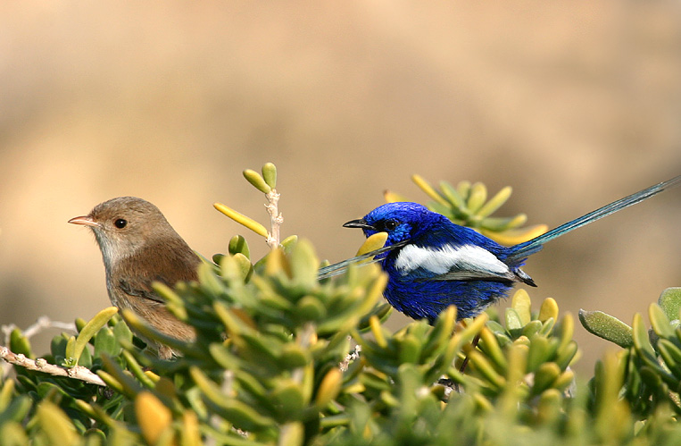 White Winged Fairy Wrens, Mr & Mrs.