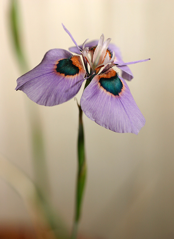 August 29. Moraea villosa