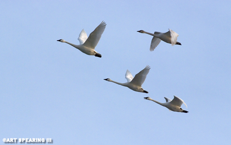 Tundra Swans At Middle Creek