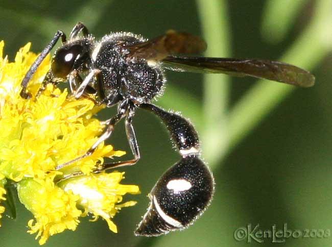 Potter Wasp Eumenes fraternus