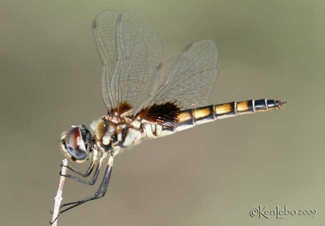 Marl Pennant Macrodiplax bolteata female