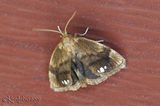Packardia albipunctata #4658