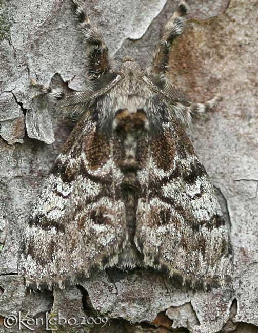 Pine Tussock Moth Dasychira pinicola #8305