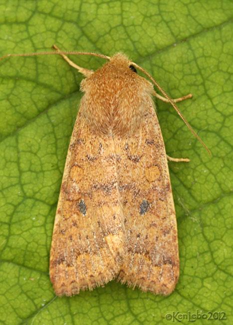 Bicolored Sallow Moth Sunira bicolorago #9957