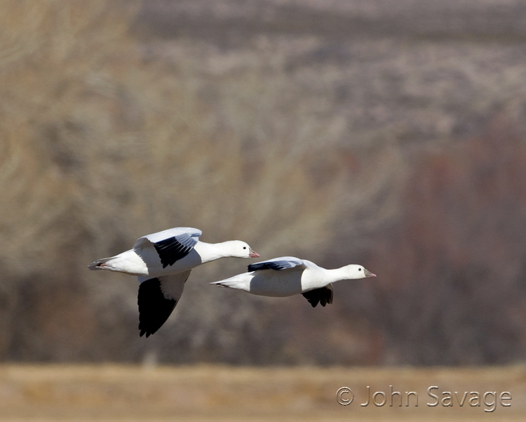 Ross geese at the  Bosque