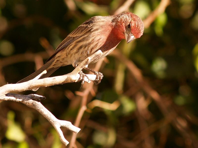 Male Finch 1.jpg