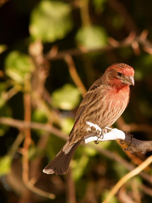 Male Finch 2.jpg
