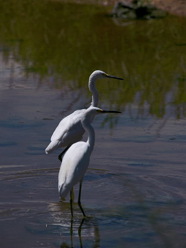 Mirrored Egrets lo Rez.jpg