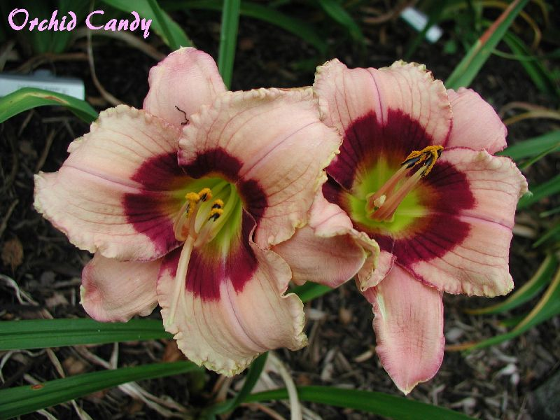 Orchid Candy.jpg