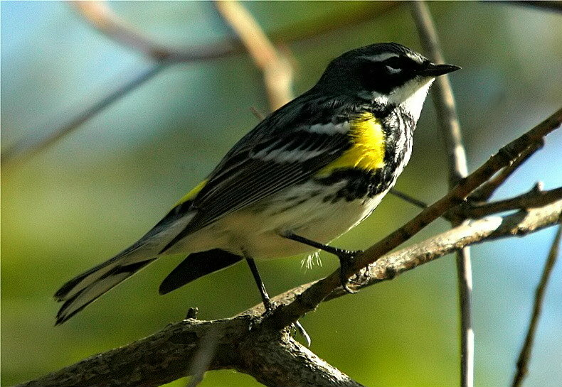 Yellow-Rumped Warbler, or Myrtle Warbler (Dendroica coronata)