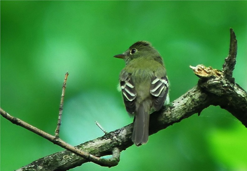 Acadian Flycatcher [Empidonax virescens]