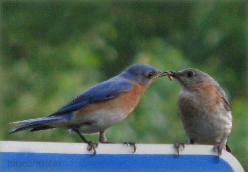Bluebird Dad Feeds Mom - Courting