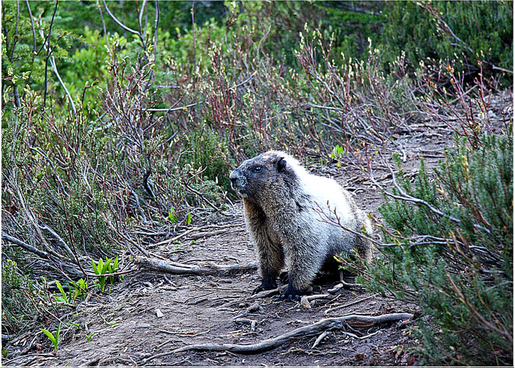 Marmot on the Trail