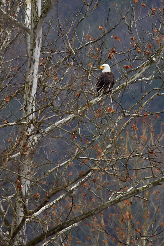 Bald Eagle in Sycamore