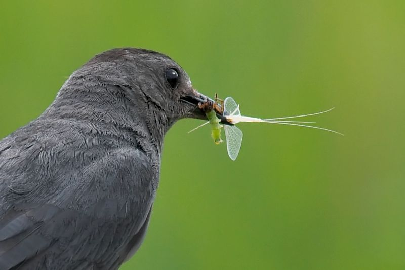 Gray Catbird with Mayfly and Caterpillar
