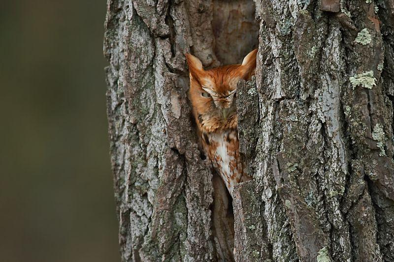 Eastern Screech Owl (Red)