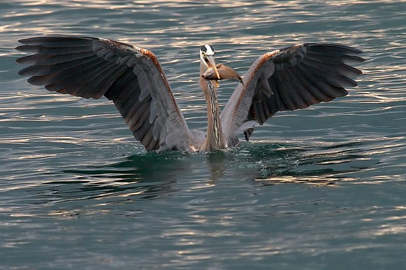 Great Blue Heron and Fish