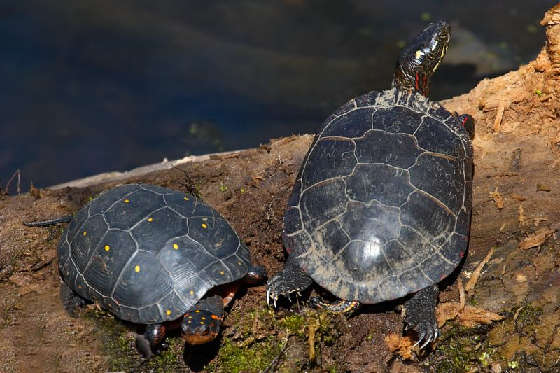 Spotted and Painted Turtles