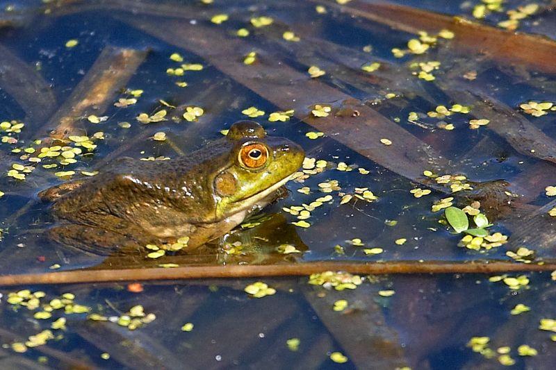 Frog and Duckweed