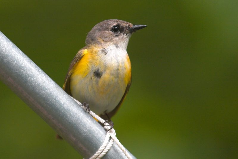 American Redstart (1st year Male)