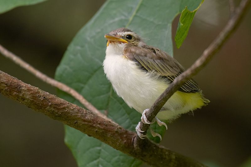Red-eyed Vireo Fledgling