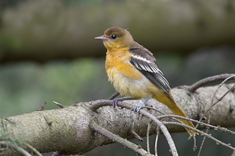Baltimore Oriole Fledgling