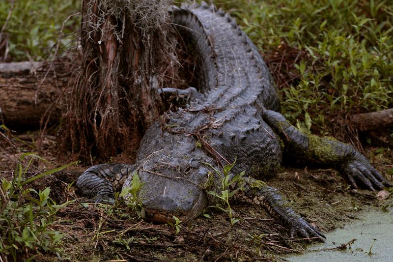 Circle B Gator on Alligator Alley.jpg