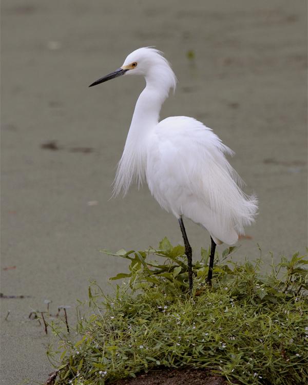 Snowy Egret on Heron Hideout.jpg