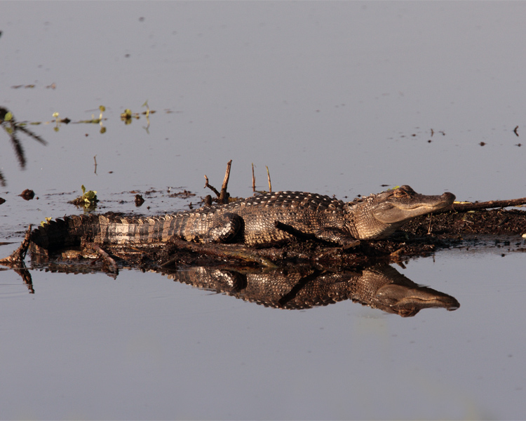 Gator Reflection.jpg
