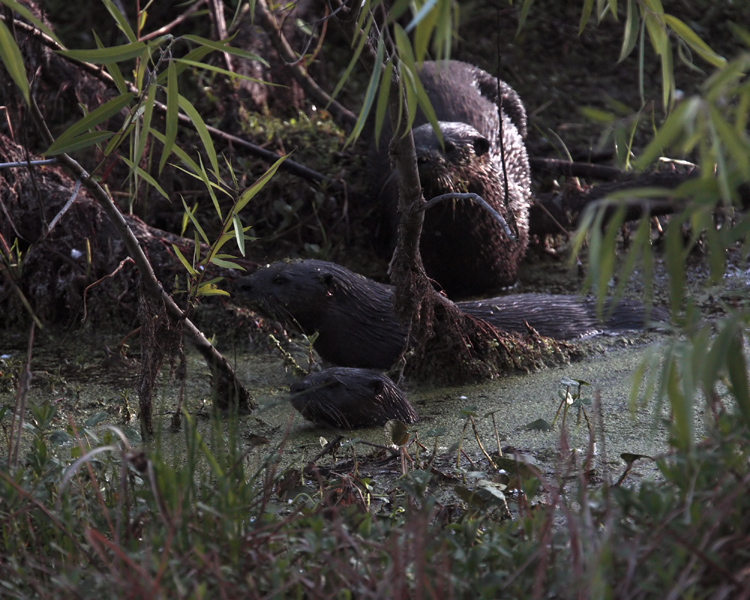 Three Otters on Alligator Alley 2.jpg