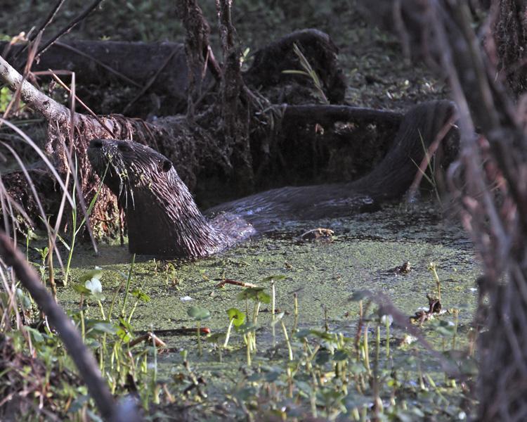 Otter on Alligator Alley 2.jpg