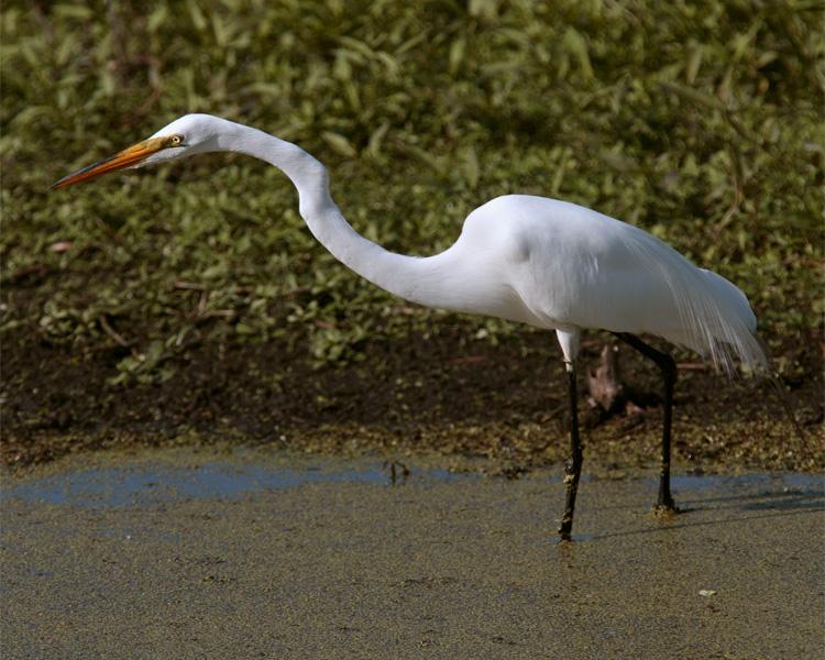 Circle B Egret on Marsh Rabbit Run.jpg