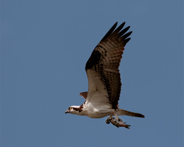 Osprey with catch at Wading Bird Way.jpg