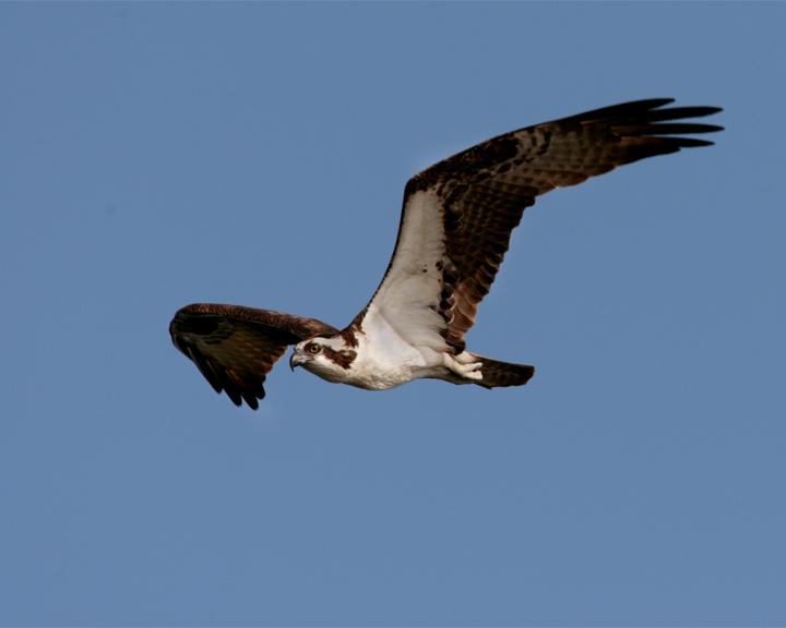 Osprey in Flight on Wading Bird Way.jpg
