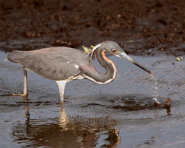 Tricolor Heron on Heron Hideout Snatching Food 2.jpg