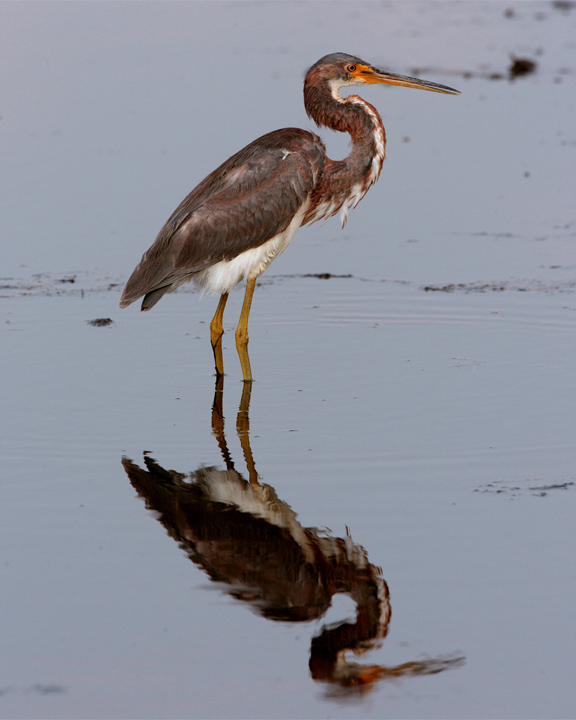Tricolor Heron on Wading Bird Way.jpg